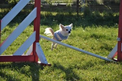 Chihuahua agility qui saute une haie