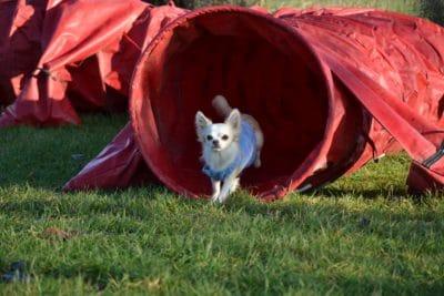 Chihuahua qui sort d'un tunnel d'agility