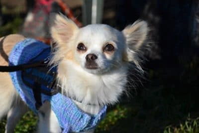 Chihuahua avec petit pull bleu