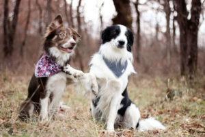 oberythmée, dog dancing, border collie