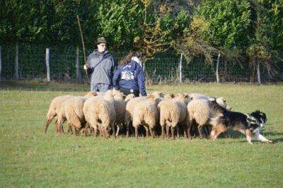 Mathilde et Mouki, berger australien, avec un troupeau de brebis