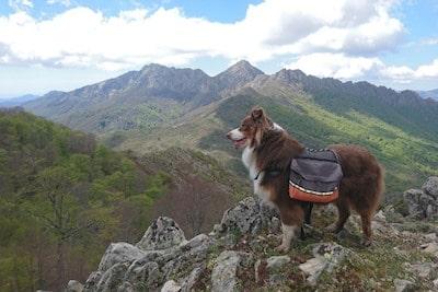 Un chien avec des sacoches à la montagne