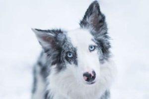 portrait border collie dans la neige
