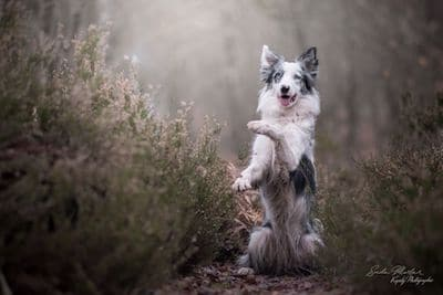 border collie qui fait le beau