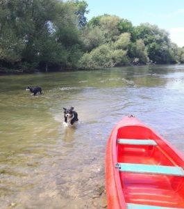 chiens dans l'eau