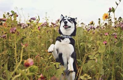 husky la belle