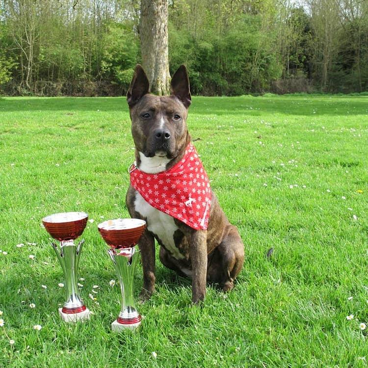 american staff championne de dog dancing