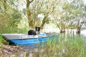 border collie barque nature