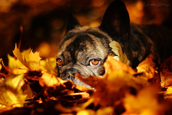 bouledogue francais dog dancing automne