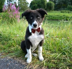 border collie chiot, dog dancing