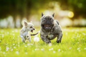 bouledogue francais et chihuahua qui courent