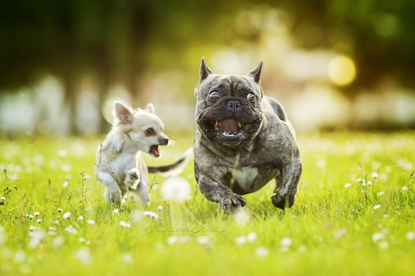 bouledogue francais et chihuahua qui courent