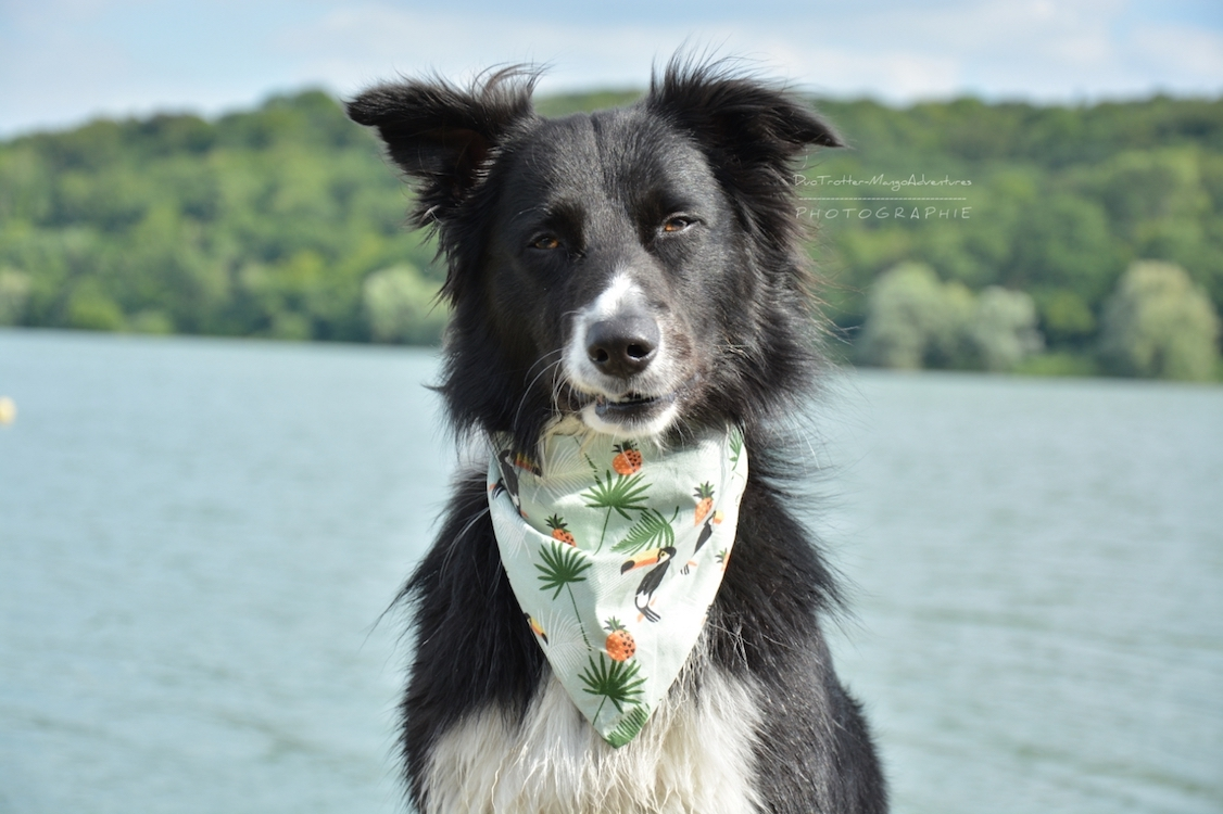 border collie, bandana, dog dance
