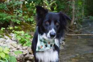 border collie, eau, bandana