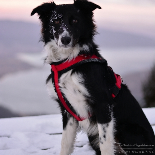 border collie, neige, dog dancing