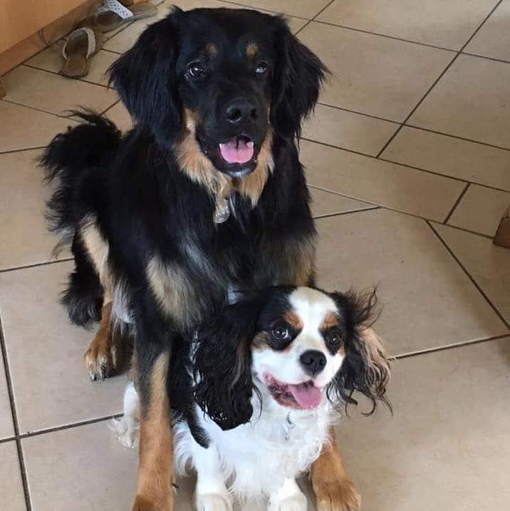 Howavart et cavalier king charles, dog dancing, chien avec malformation, danse avec ton chien