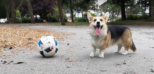 corgi qui joue au foot