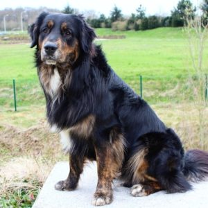 berger australien, dog dancing, assis, chien noir et fauve