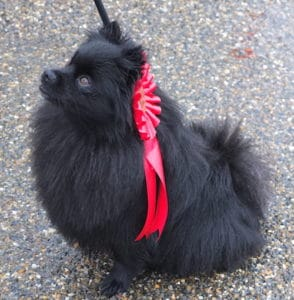 Inna, spitz championne dog dancing