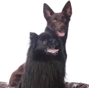 spitz et kelpie dog dancer