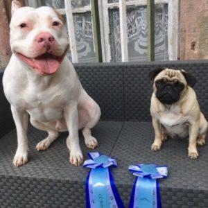 americanstaff et carlin dog dancer competition
