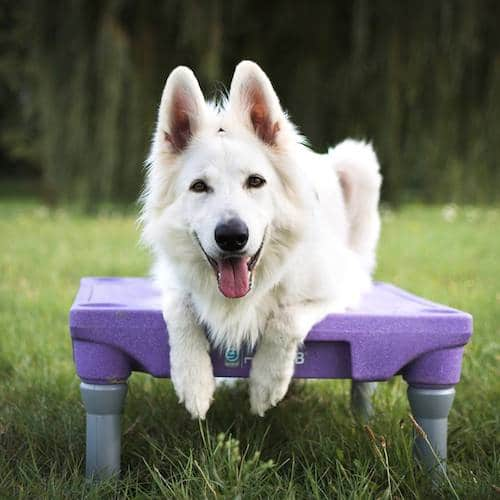 berger blanc suisse sur table d'agility
