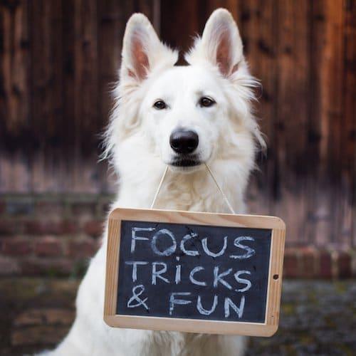 berger suisse blanc qui tient une pancarte, trick dog dancing