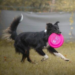 bordercollie frisbee