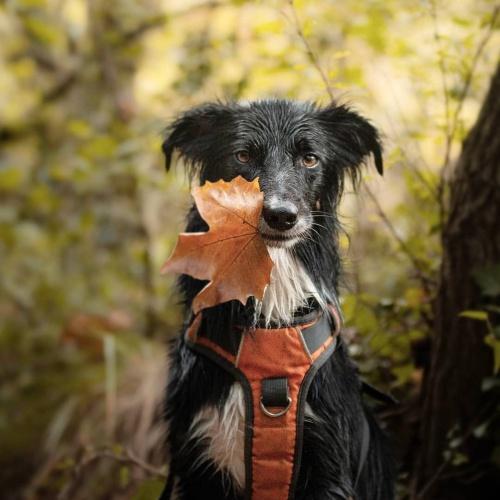 bordercollie feuille d'automne