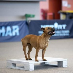 staffy grand prix de france