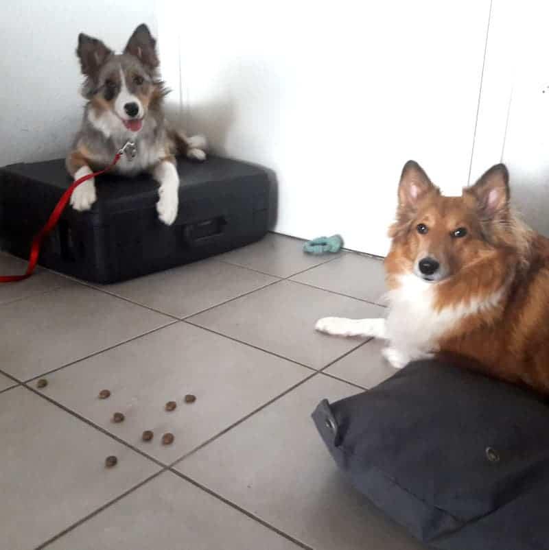 Travail des autocontroles avec un chiot et un chien plus agé