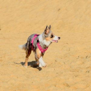 refus d'appat en autocontrole, border collie sur une plage avec un harnais rose