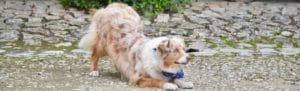Gipsy, berger australien rouge merle, position de salut dog dance