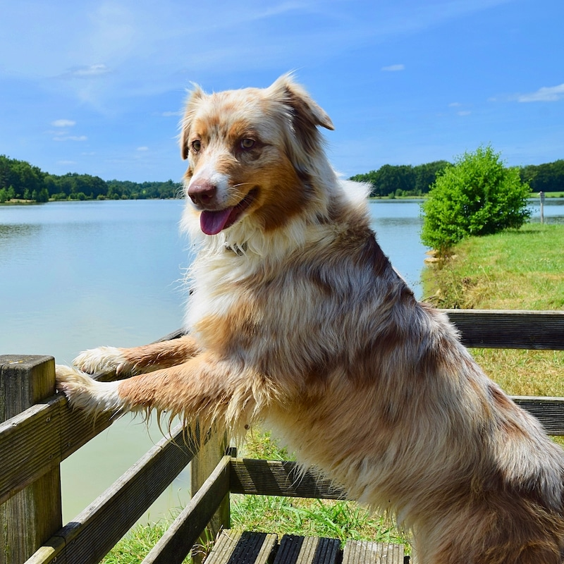 Chien berger australien rouge merle qui pose devant un grand lac