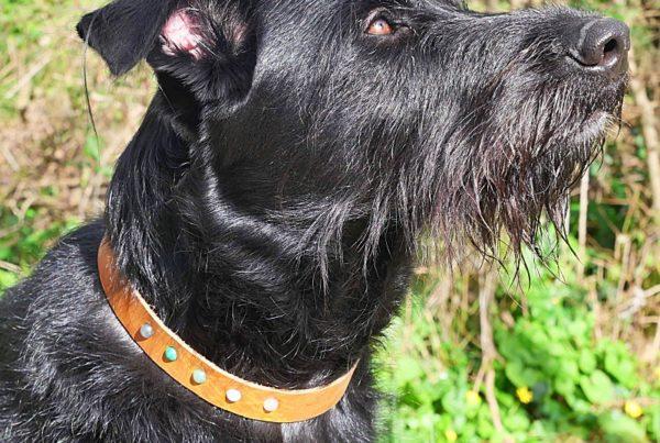chien noir avec collier à pierres