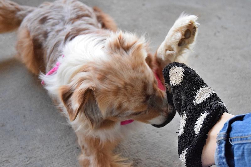 chien qui retire une chaussette